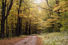 Delicious Golden (Denise @ New Mercies I See) Tags: autumn trees nature leaves forest outdoors october westvirginia appalachia roadway 2015 randolphcounty onethousandgifts