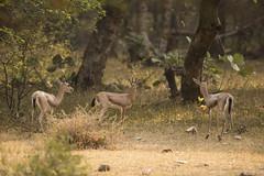 Chinkara or  Indian gazelle - Gazella bennettii - 04 (srikaanth.sekar) Tags: park india birds animals nikon wildlife national d750 nikkor mammals rajasthan ranthambore 200500mm
