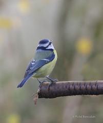 Msange bleue (MBD photographies (Ile de France)) Tags: borderfx