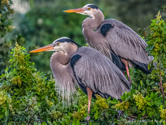 Great Blue Herons (DonMiller_ToGo) Tags: nature birds florida wildlife g5 birdwatching hdr greatblueheron rookery onawalk wildflorida 5xp hdrphotography 5exposures venicerookery