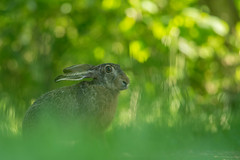 Bokeh Brown Hare (Wouter's Wildlife Photography) Tags: nature animal mammal hare bokeh wildlife billund brownhare lepuseuropaeus pattedyr