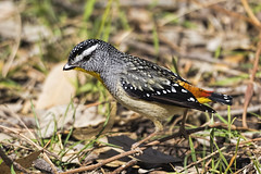 Spotted Pardalote Male 2015-11-07 (_MG_6233) (ajhaysom) Tags: australia melbourne australianbirds greenvale spottedpardalote pardalotuspunctatus canoneos60d sigma150600 woodlandshistoricpark