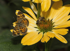Pearl Crescent (Phyciodes tharos) (AllHarts) Tags: ngc npc memphistn dixongardens butterflygallery pearlcrescentphyciodestharos naturesspirit naturescarousel ourwonderfulandfragileworld
