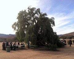012 The Pepper Tree (saschmitz_earthlink_net) Tags: california tree training orienteering registration participant aguadulce vasquezrocks losangelescounty 2015 laoc losangelesorienteeringclub
