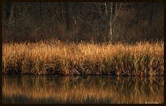 Golden reflection... (don.white55 That's wild...) Tags: autumn texture duck pennsylvania serene habitat waterreflection wildwoodlake wildwoodnaturepreserve donwhite goldenreflection harrisburgpennsylvania pennsylvanialakes theartistseyes flickrdonwhite55 canoneos70dtamronsp150600mmf563divcusda011 canone0s7od pennsylvaniawildlifeandnature thatswildnaturephotography