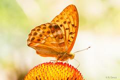 Schmetterling 119 (rgr_944) Tags: macro butterfly tiere natur pflanzen blumen papillon insekten schmetterling canoneos60dcanoneos70d rgr944