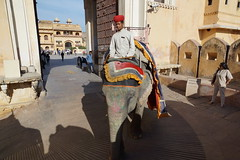 Elephant at The Amber Palace, Amer, Jaipur, Rajasthan, India - DSC03656 (JULIAN MASON) Tags: india elephant jaipur rajasthan amberfort amerfort amberpalace 2015 rajamansingh amerpalace julianmason sleepingbeautyofrajasthan