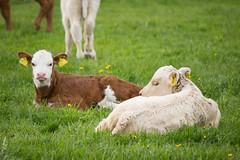297 av 365 - Trttmssor (Yvonne L Sweden) Tags: sweden young calf livestock ung kalv 365foton 3652015