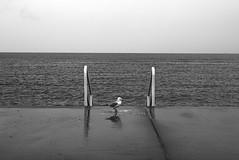 20151202_Sandgate_Shorncliffe_045 (_Scorps_) Tags: light bw water canon view seat australia monotone qld minimalist sandgate silvergull
