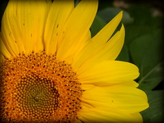 Sunflower (gummybear402) Tags: nature yellow outdoors backyard nikon nebraska sunflower omaha vignette l330