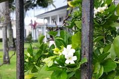 Murraya-paniculata_WashingtonPlace-320SBeretania-Honolulu_Cutler_20151202_140847 (wlcutler) Tags: hawaii honolulu murraya murrayapaniculata