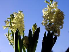 Friday's Flower Power (Ronile35) Tags: blumen fridaysflowerpower hyazinthe weis