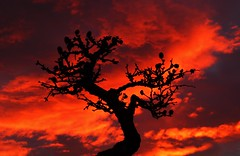 Bonsai Silhouette..x (Lisa@Lethen) Tags: red sky cloud nature weather silhouette sunrise scotland outdoor bonsai