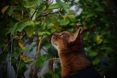 Looking for something (DizzieMizzieLizzie) Tags: abyssinian aby beautiful wonderful lizzie dizziemizzielizzie portrait cat chats feline gato gatto katt katze katzen kot meow mirrorless pisica sony a6000