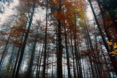 A New Beginning (FlavioSarescia) Tags: colours forest trees foggy fog hss fall autumn