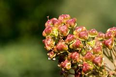 Ceanothus-Fruchtstand - Fuits of California lilac (riesebusch) Tags: berlin garten marzahn
