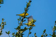 Goldfinch Moving (Gabriel FW Koch (fb.me/FWKochPhotography on FB)) Tags: goldfinch birds avian finch tree bluesky migration wild wildlife sun sunlight nature natural canon telephoto eos dof garden lseries bokeh blue