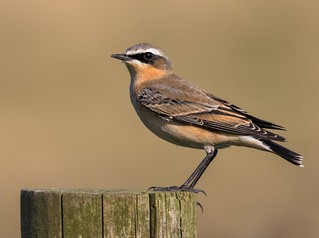 Northern Wheatear - Oenanthe oenanthe (Explored)