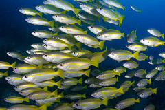 DSC_3159 (Mgungen) Tags: misoolecoresort raja ampat coral reef ocean sea diving dive scuba nikon d7100 tokina1017 wideangle subal inon z240 blu schooling fish indonesia underwaterphotography