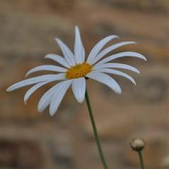 Large daisy (kerrylockwood1) Tags: large big daisy plant flowers white yellow flowerbud brickwall macro photography