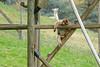 Berberaffe in der Espace zoologique de Saint-Martin-la-Plaine (Ulli J.) Tags: zoo frankreich france frankrig frankrijk rhônealpes loire saintmartinlaplaine pilat espacezoologiquedesaintmartinlaplaine berberaffe magot barbarymacaque barbaryape berberabe macaqueberbère berberaap