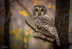 Barred Owl on a limb (Chris St. Michael) Tags: barred owl barredowl