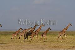 10076039 (wolfgangkaehler) Tags: 2016africa african eastafrica eastafrican kenya kenyan amboseli amboselikenya amboselinatlparkkenya amboselinationalpark wildlife mammal giraffe giraffes giraffacamelopardalistippelskirchi herd tower group