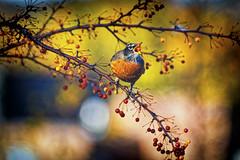 Breakfast (ROPhoto77) Tags: bokeh colorful green newengland orange trees berries robin