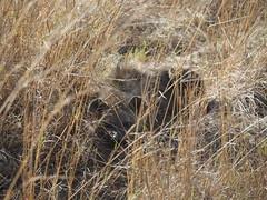 Masai Mara (Laika ac) Tags: masaimara maratriangle kenya africa safari zebra hyena