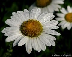 Gardening requires lots of water.... (itucker, thanks for 2.5+ million views!) Tags: daisy shastadaisy macro bokeh raindrops becky raulstonarbortetum