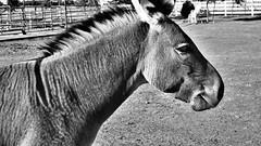 Zonkey (rudyg39) Tags: wilton evan hespeler birthdayparty zonkey