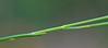 CAC019031a (jerryoldenettel) Tags: 2015 coastalplainmilkwort fl fabales kissimmeeprairiepreserve okeechobeeco polygala polygalasetacea polygalaceae rosids wildflower flower milkwort