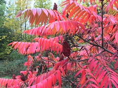 Sumac (Georgian Bay Dreamer) Tags: sumac fall autumn red canada ontario georgianbay