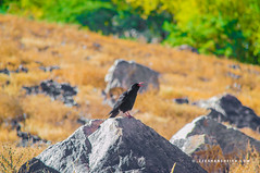 Red-billed Chough - Hunza Valley - Gilgit Baltistan - Pakistan (zeeshanbsheikh) Tags: vrii baltistan bird chough crow gilgit landscape misgir nature nikon pakistan redbilled border hunza valley
