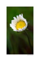 Shy (g.femenias) Tags: flower wildflower autumnflower nature macro bokeh sonparrich petra mallorca bellisperennis margalidetaperenne commondaisy lawndaisy englishdaisy