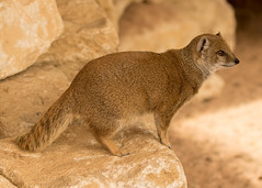 Yellow Mongoose (TenPinPhil) Tags: philipharris tenpinphil canon marwellzoo 2016 zoo cute mongoose yellowmongoose