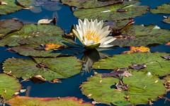October on the Lake (Emanuel Dragoi Photography) Tags: gibbs garden ga georgia lake flower october water lilies