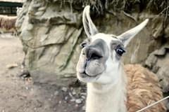 Lama (m.buzzart) Tags: explore lama animal artis zoo cute funny closeup