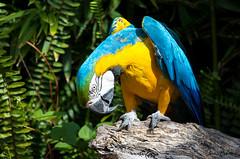 (JOAO DE BARROS) Tags: macaw bird zoo animal joo barros