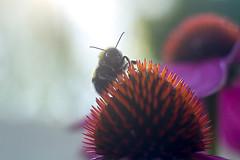 _MG_0740_web (Erik Koffmar) Tags: green bumblebee humla pentacon 50mm f18 lilac flower summer coneflowers rudbeckia sunflower koffmar uppsala sweden uppland macroflowerlover macrodreams