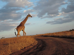 Strolling in the Sunset (mrtrella) Tags: kenya giraffe nairobi nairobinationalpark sunset nikonp340 africa afrika