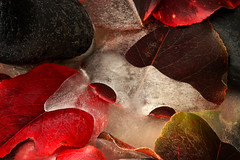 Frozen Fall 4 (arbyreed) Tags: arbyreed ice frozen cold iced leaves fall red green rocks puddle frozenpuddle frozenleaves icy stilllife artificial patterns close closeup