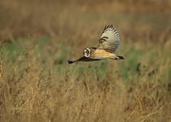 Wind Bird (slsjourneys) Tags: owl shortearedowl