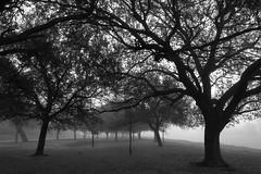 Overwhelmed (jan buchholtz) Tags: fog trees oaks liveoak misty mysterious monochrome texas houston bayou janbuchholtz braysbayou