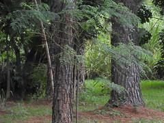 DSCN0304 (apacheizabel) Tags: lago pssaros rvores cu pinhas tronco espelho dgua queroquero rolinhas banco no bosque famlia de galinhas passeio parque centro aeroespacial da aeronutica cta so jos dos campos sp