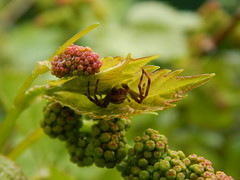 spider on grape vine (jeaniephelan) Tags: spider grapevine insect