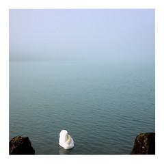 Swan (ngbrx) Tags: schweiz switzerland suisse svizzera bern bernese berner berne brienz brienzer brienzersee see lake water wasser swan animal autumn herbst fog nebel oberland
