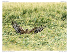 Busard cendr | Montagu's Harrier | Circus pygargus (BerColly) Tags: france auvergne puydedome oiseau bird busardcendr montagusharrier circuspygargus vol flight bercolly google flickr