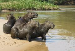 Capybara family, Piquiri River, Pantanal (Jim 592) Tags: capybara pantanal brazil mammal family rodent
