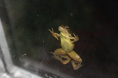 Frog (PhotosWithLouis) Tags: unexpected frog home window eye nighttime photo photography